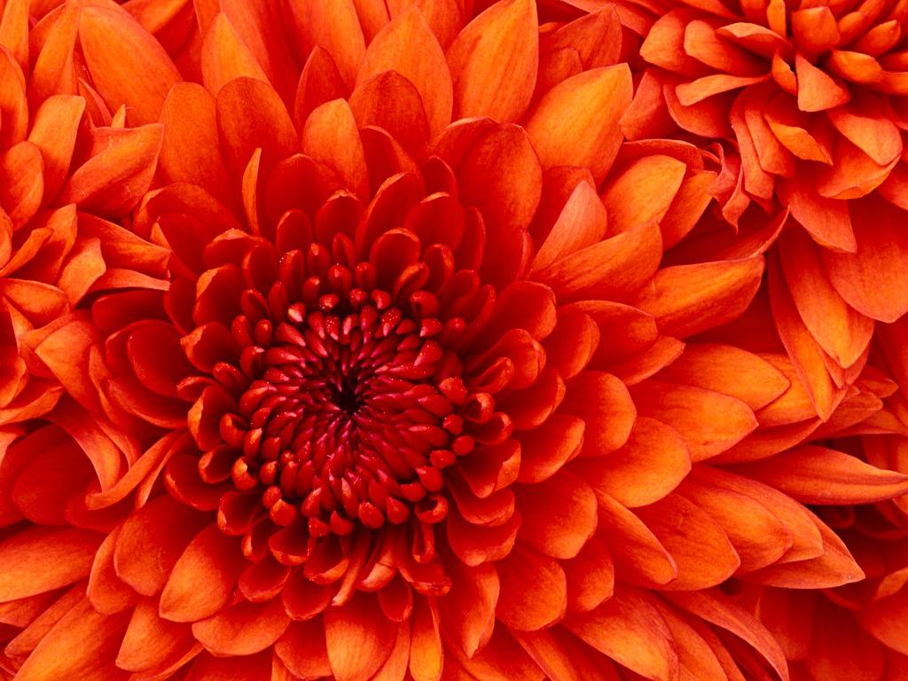 /var/www/html/wp-content/uploads/2018/09/Chrysanthemum-6