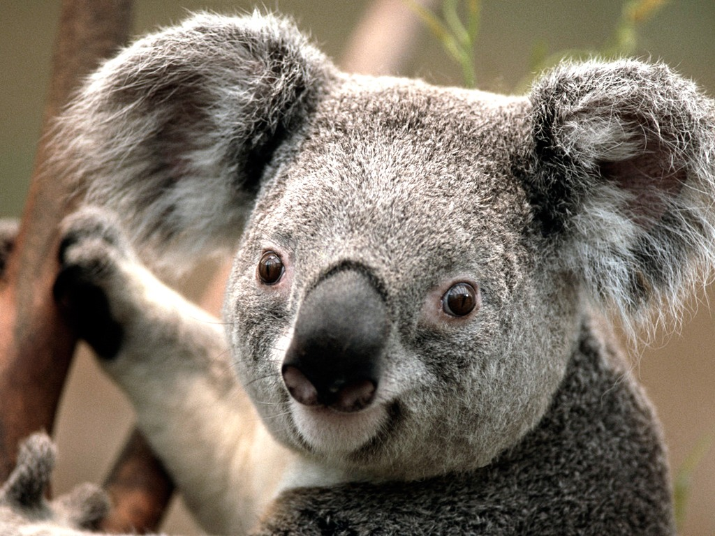 /var/www/html/wp-content/uploads/2018/09/Koala