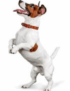 34.-Jack-Russen-terrier-Dollarphotoclub_84495696-139x180-1