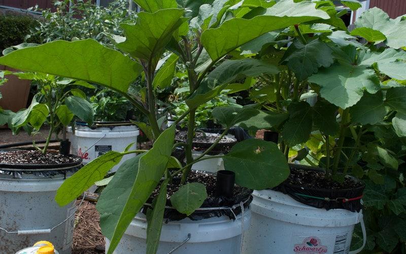 Black Beauty Eggplant - Day 12