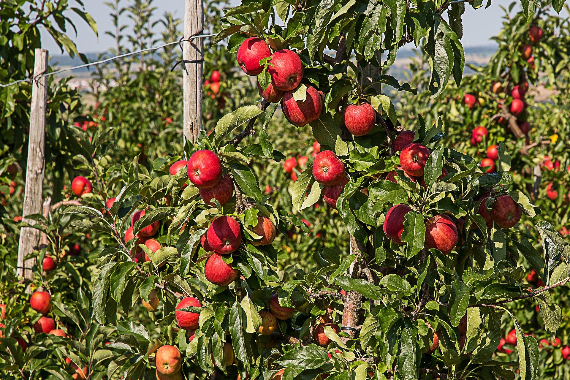 appel-apple-fruit-vrug-vrugteboom-tree
