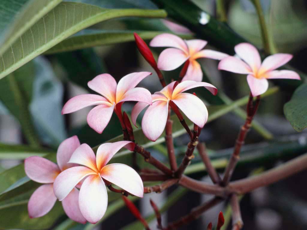 Frangipani-Flowers